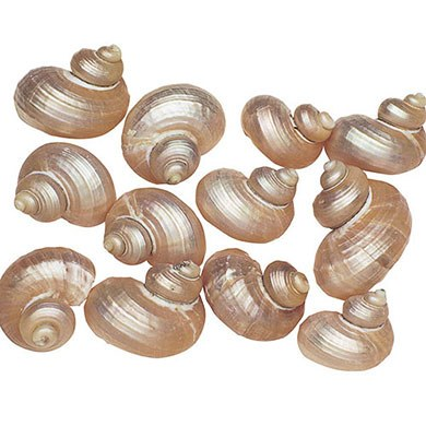 Silver and Pearl Turbo Sea Shells Wedding Accessory Decoration